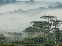 A Araucária, árvore símbolo do Paraná, também é objeto de estudo de um dos projetos aprovados. Foto: Zig Koch